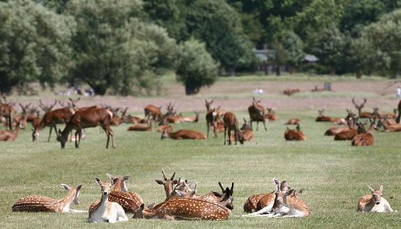 Old Deer Park and Richmond  Park